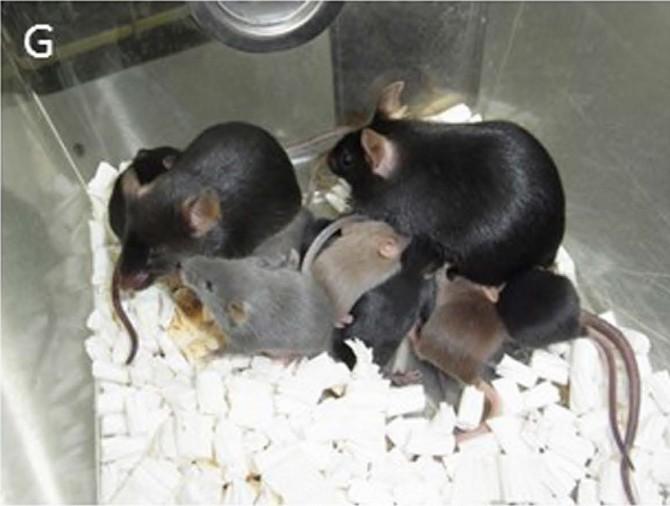 일본 연구진은 쥐 오줌 속 세포를 이용해 쥐를 복제한 뒤 서로 교배해 새끼를 얻는 데도 성공했다. - 일본 야마나시대 제공